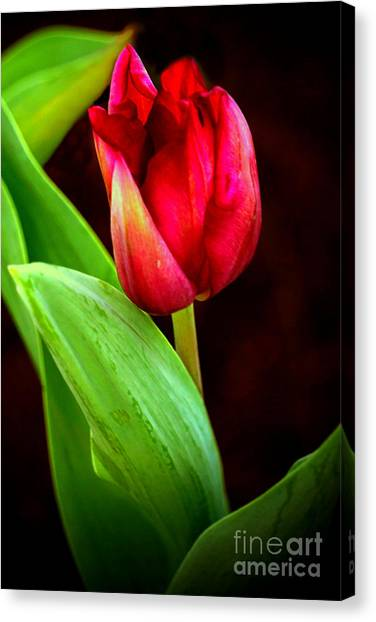 Tulip Caught In The Light Canvas Print