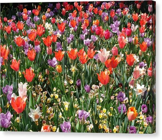 Tulip Delight 2 Canvas Print by Shiana Canatella