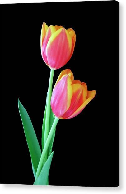 Tulip Duo Canvas Print