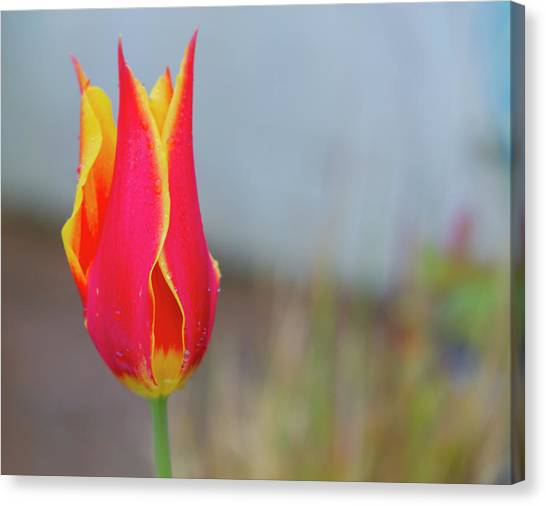 Tulip Fire Canvas Print