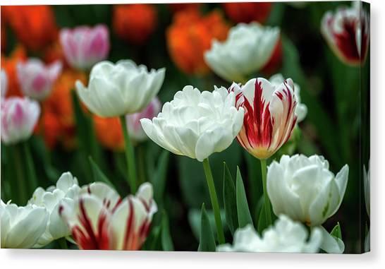 Canvas Print featuring the photograph Tulip Flowers by Pradeep Raja Prints