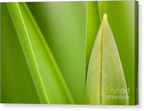 Tulips Canvas Print - Tulip by Silke Magino