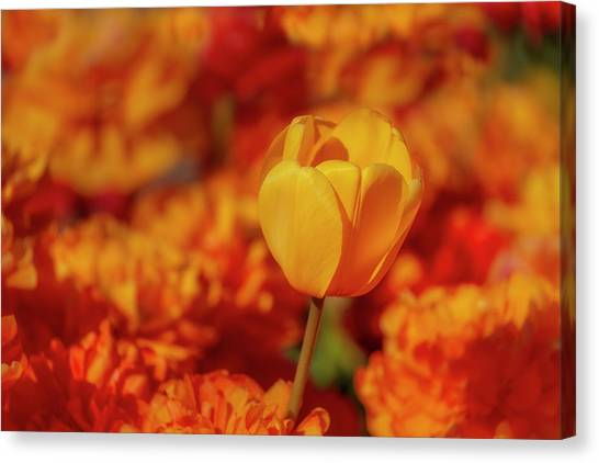 Canvas Print featuring the photograph Tulip Standout by Susan Candelario