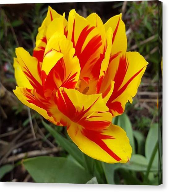 #tulips Are My Favourite Flowers And Canvas Print by Dante Harker
