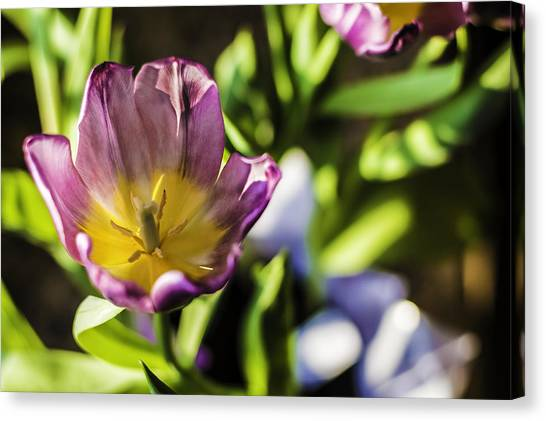 Tulips At The End Canvas Print