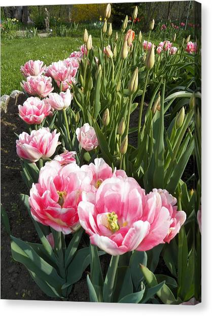 Tulips In Pink Canvas Print