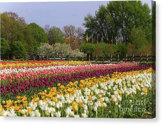 Tulips In Rows Canvas Print