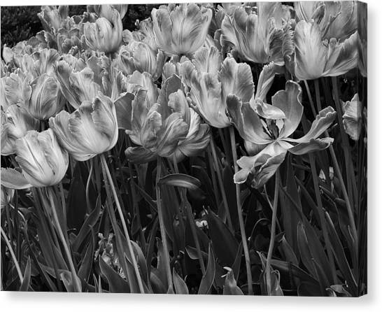 Tulips In The Breeze Canvas Print by Abhi Ganju