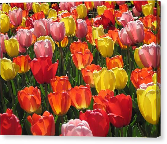 Tulips Like Sunlight Canvas Print