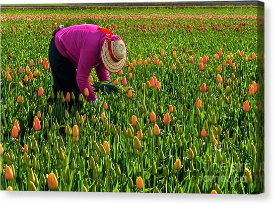 Tulips Picker Canvas Print