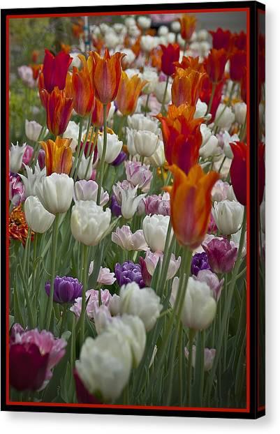 Tulips... Tulips... Everywhere Canvas Print