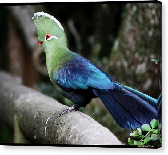 Macaws Canvas Print - Turaco by Jackie Russo