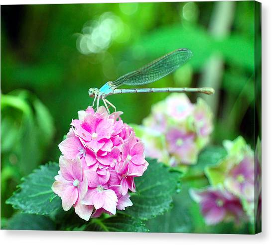 Turquiose Dragonfly  And Hydrangea Canvas Print by Heather S Huston