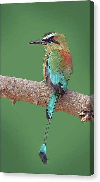 Turquoise-browed Motmot Canvas Print