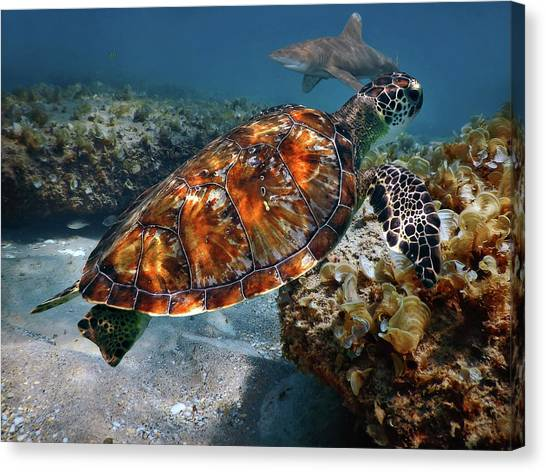 Turtle And Shark Swimming At Ocean Reef Park On Singer Island Florida Canvas Print