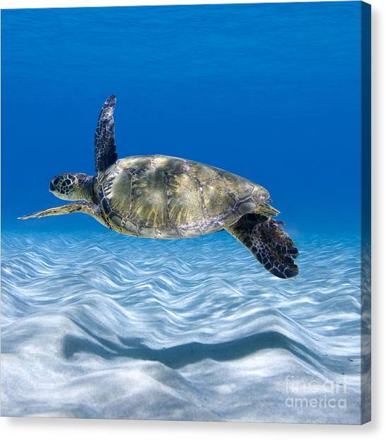 Turtles Canvas Print - Turtle Flight -  Part 2 Of 3  by Sean Davey