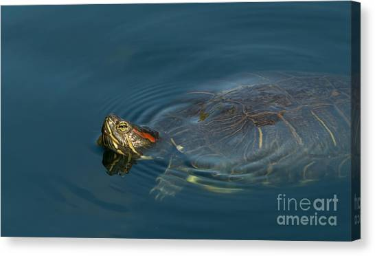 Turtle Floating In Calm Waters Canvas Print