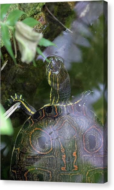Canvas Print featuring the photograph Turtle Getting Some Air by Raphael Lopez