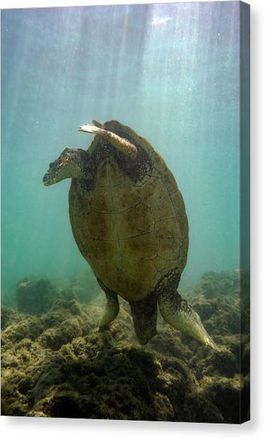 Flipper Canvas Print - Turtle Handstand by Christopher Johnson