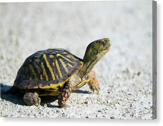 Tortoises Canvas Print - Turtle by Super Lovely