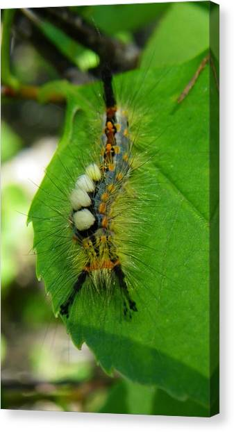 Tussock Moth Mohawk Canvas Print