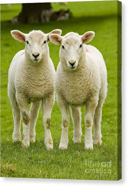 Baby Canvas Print - Twin Lambs by Meirion Matthias
