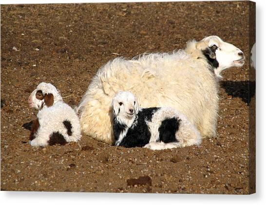 Twin Lambs Of The Gobi Canvas Print