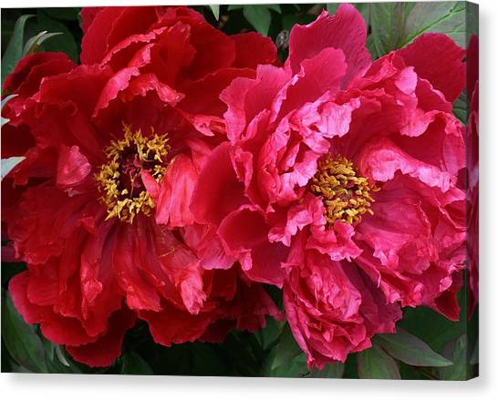 Twin Peonies Canvas Print