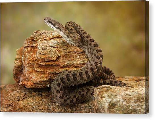 Rattlesnakes Canvas Print - Twin-spotted Rattlesnake On Desert Rocks by Susan Schmitz
