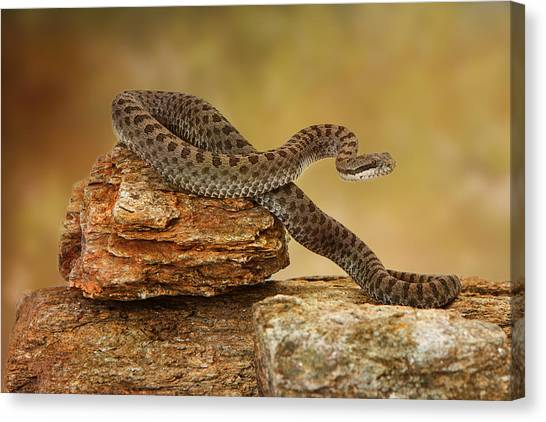 Rattlesnakes Canvas Print - Twin-spotted Rattlesnake On Top Of Rock by Susan Schmitz