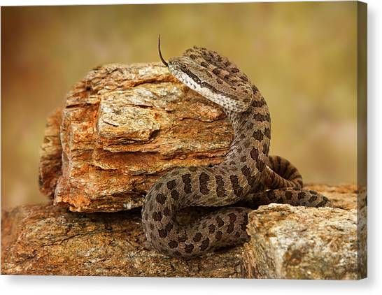 Rattlesnakes Canvas Print - Twin-spotted Rattlesnake With Tongue Out by Susan Schmitz