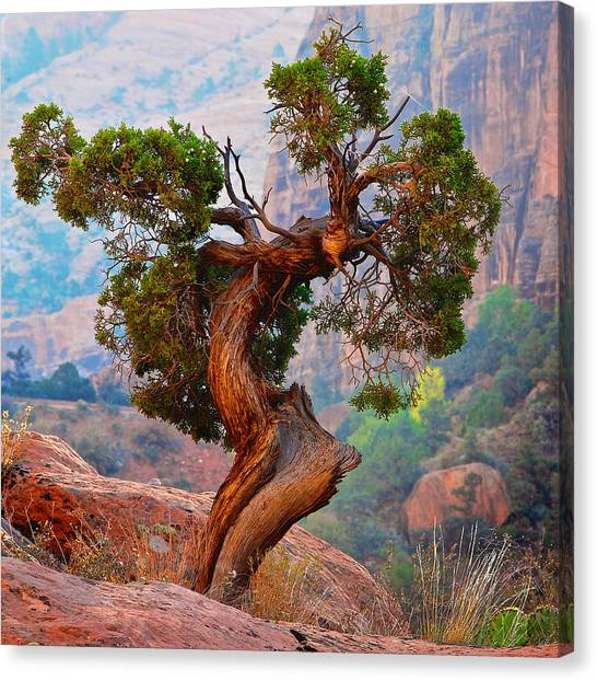 Twisted, Cedar Pine, Zion National Park, Utah Canvas Print