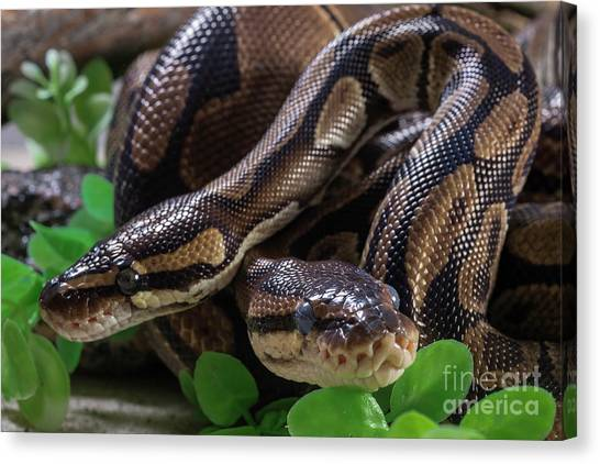 Burmese Pythons Canvas Print - Two Burmese Pythons by Les Palenik