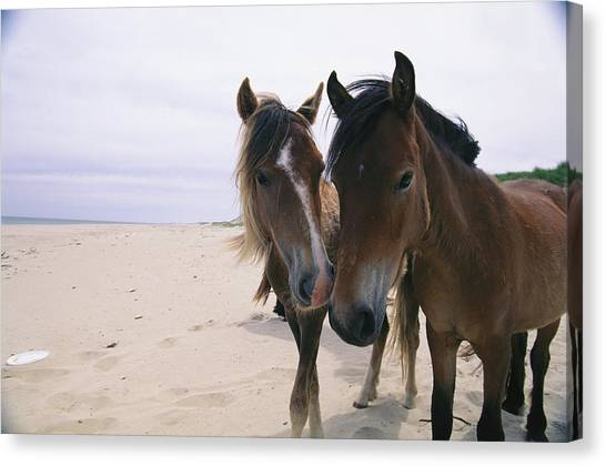 Nova Scotia Canvas Print - Two Curious Wild Horses On The Beach by Nick Caloyianis