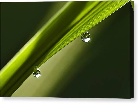 Two Dew Drops On A Blade Of Grass Canvas Print by Michael Whitaker