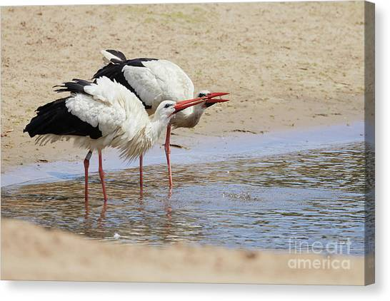 Canvas Print featuring the photograph Two Drinking White Storks by Nick Biemans
