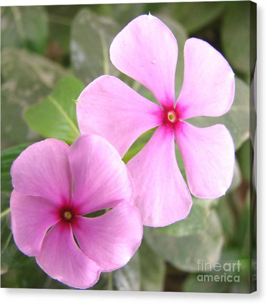 Two Flowers- Rosy Periwinkle Canvas Print by Shariq Khan