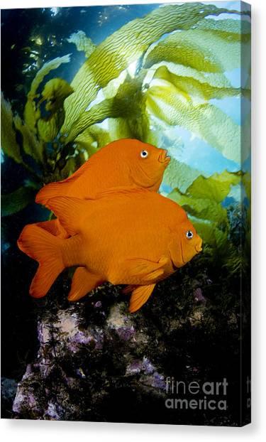 Kelp Forest Canvas Print - Two Garibaldi by Dave Fleetham - Printscapes
