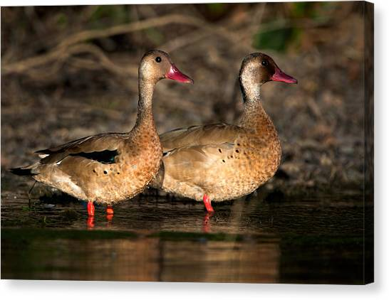 The Pantanal Canvas Print - Two Geese Birds, Pantanal Wetlands by Panoramic Images