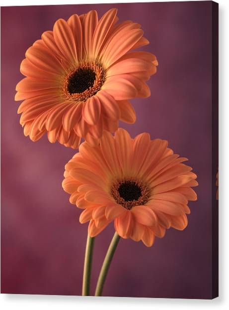 Two Gerberas 2 Canvas Print by Joseph Gerges