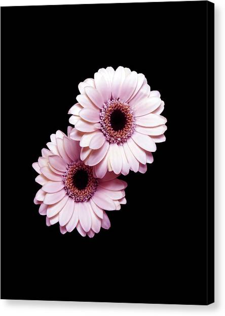 Two Gerberas On Black Canvas Print