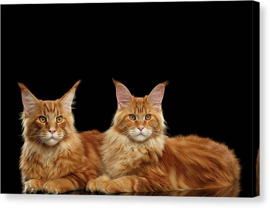 Two Ginger Maine Coon Cat On Black Canvas Print
