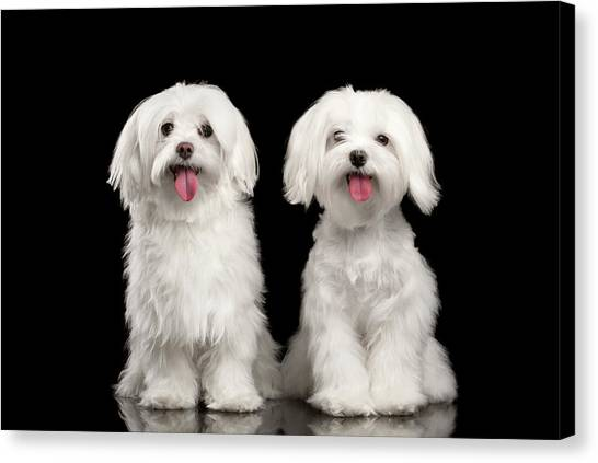 Dog Canvas Print - Two Happy White Maltese Dogs Sitting, Looking In Camera Isolated by Sergey Taran