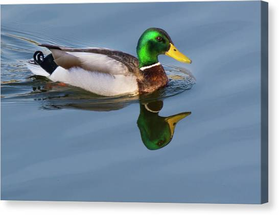Two Headed Duck Canvas Print