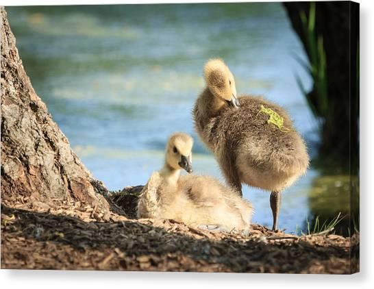 Two Little Goslings Canvas Print
