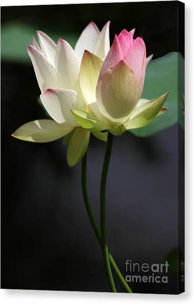 Two Lotus Flowers Canvas Print
