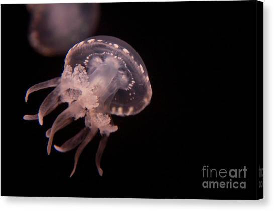 Two Moon Jellies Canvas Print