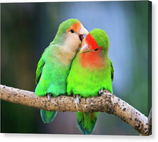 Lovebirds Canvas Print - Two Peace-faced Lovebird by Feng Wei Photography