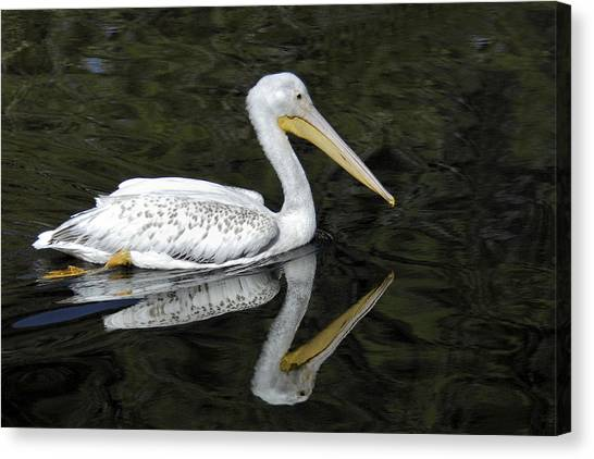 Two Pelicans Canvas Print