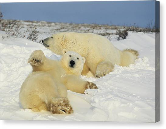 And Threatened Animals Canvas Print - Two Polar Bears Lounging by Norbert Rosing